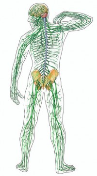Body Nervous System